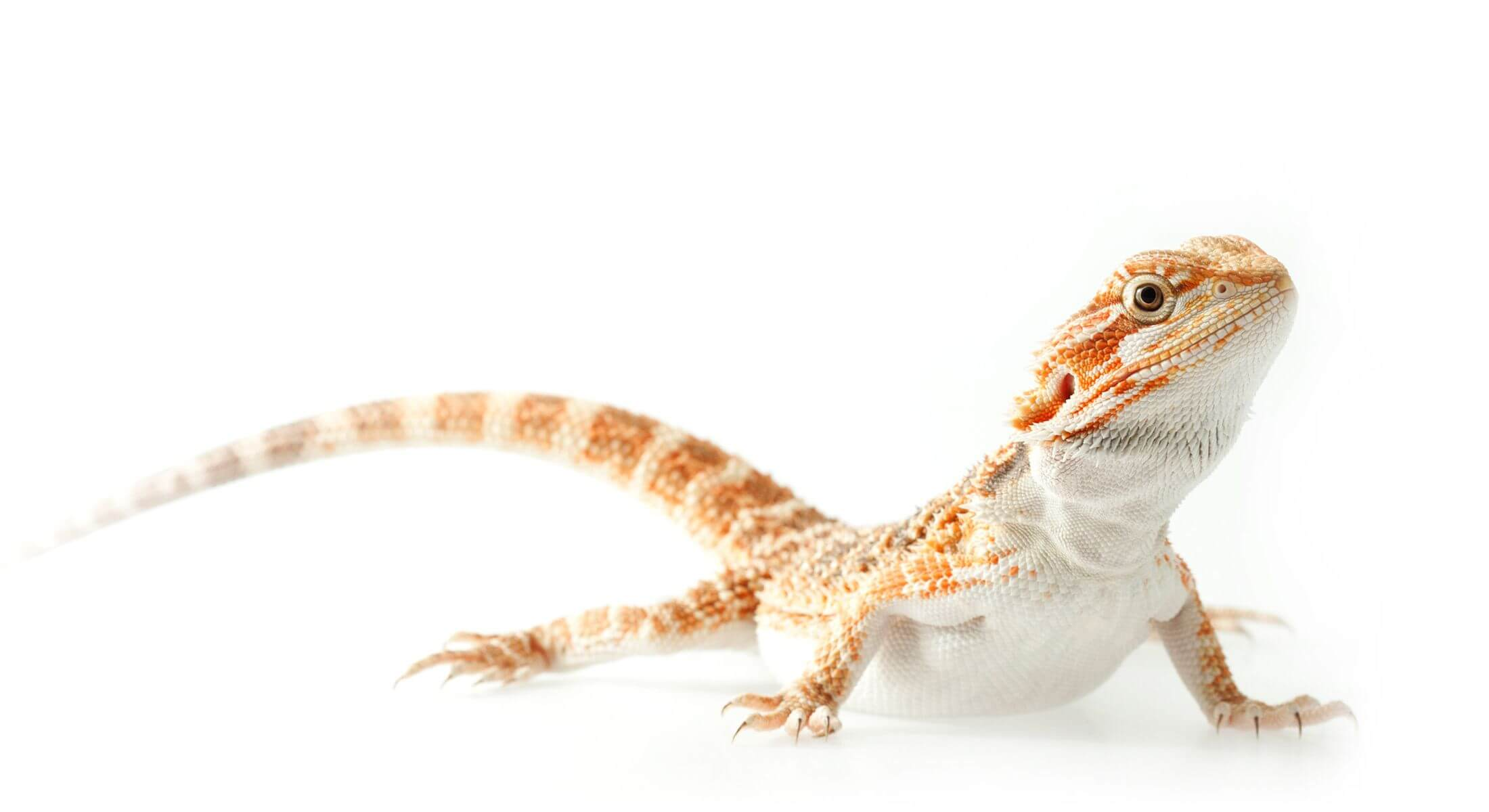 Bearded dragon, an Australian lizard