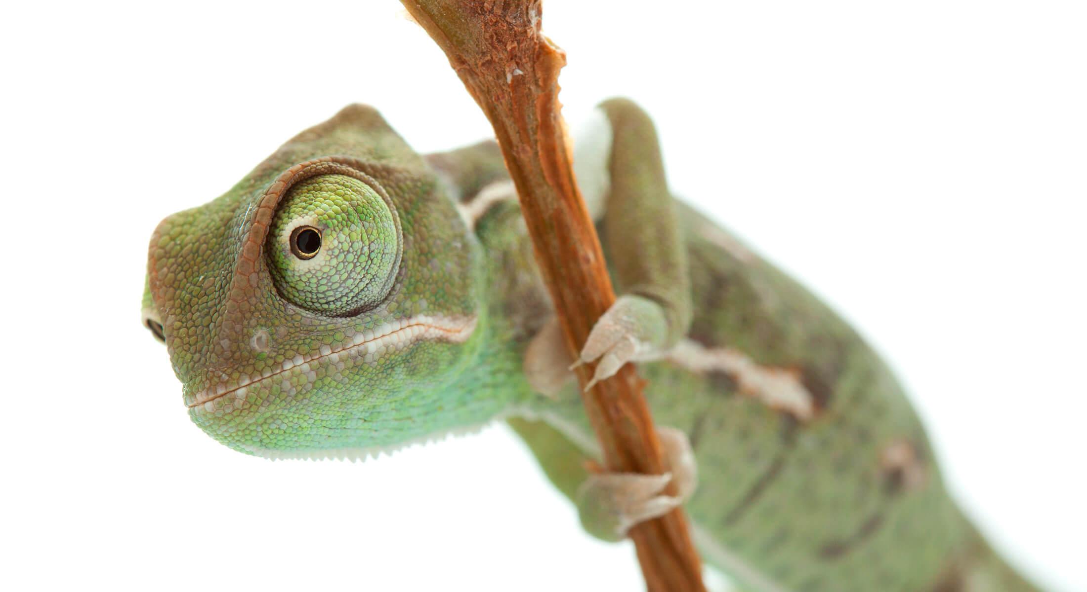 Macro of chameleon with narrow focus
